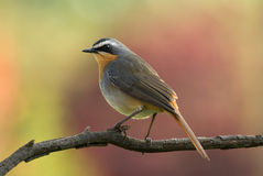 Birds Cape Robin Chat. Cape Robin Chat perched on branch against soft pastel-coloured out of focus background Royalty Free Stock Photos