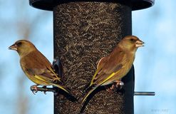 Birds. Carduelis chloris L Royalty Free Stock Photo