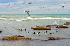 Birds of the Caspian sea. stock photos