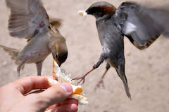 Birds catching bread from hands. Flying robins competing for food grabbing bread from hands Royalty Free Stock Photos