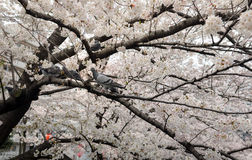 Birds on Cherry Blossom Tree Stock Images