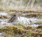 Birds of Chile. Bird in natural environment, Hudsonian Godwit, Torres del Paine National Park, Chile Royalty Free Stock Photos