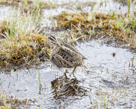 Birds of Chile. Bird in natural environment, Hudsonian Godwit, Torres del Paine National Park, Chile Stock Photography
