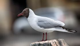 Black-headed gulls on background of houses and cars. Birds in city have dual meaning. On one hand is aesthetic object, on other they scream and shit (harmful royalty free stock photo
