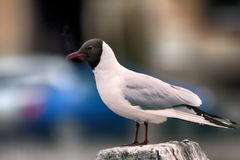 Black-headed gulls on background of houses and cars Stock Photography