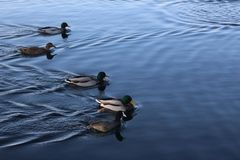 Birds of the city of Trakai royalty free stock images