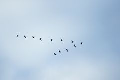 Birds in classic. V formation Stock Photography