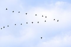 Birds in classic. V formation Stock Image