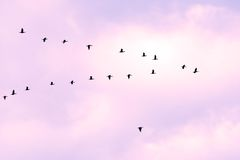 Birds in classic. V formation Royalty Free Stock Images