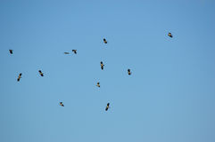 Birds in a clear blue sky. Flying birds on a clear blue sky background Royalty Free Stock Images