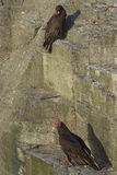 Birds on a cliff. Striated Caracara Phalcoboenus australis and a Turkey Vulture Cathartes aura jota share the cliffs on Bleaker Island in the Falkland Islands Stock Photos