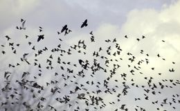 Birds and clouds. A flock of birds flying. Wings are in motion, blurred Royalty Free Stock Photography