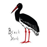 Birds collection Black Stork Color vector Stock Photography