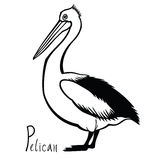 Birds collection Pelican Black and white vector Royalty Free Stock Photos