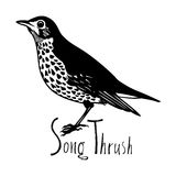 Birds collection Song Thrush Black and white  Royalty Free Stock Images