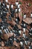 Birds colony on West seashore of Iceland. Royalty Free Stock Photography