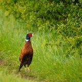 Birds - Common Pheasant Phasianus colchicus male - cock.  Royalty Free Stock Image