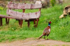 Birds - Common Pheasant Phasianus colchicus in the village.  Royalty Free Stock Images