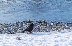 Birds - Common Raven Corvus corax in winter time. On a sunny day Stock Photography