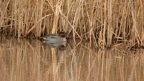 Common Teal, Teal, Anas crecca stock video