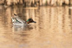 Common Teal, Teal, Anas crecca. Birds - Common Teal, Teal, Anas crecca Royalty Free Stock Photo