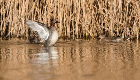 Common Teal, Teal, Anas crecca. Birds - Common Teal, Teal, Anas crecca Royalty Free Stock Image