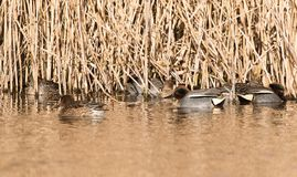 Common Teal, Teal, Anas crecca. Birds - Common Teal, Teal, Anas crecca Stock Photo