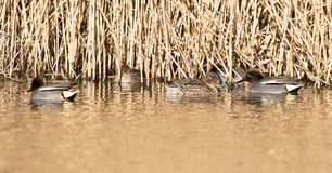 Common Teal, Teal, Anas crecca. Birds - Common Teal, Teal, Anas crecca Stock Images
