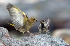 Birds conflict Stock Image