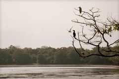 Birds contemplating a lake in Sri Lanka. Different birds standing on a branch at the side of a lake in Wilpattu National Park located in Sri Lanka stock image