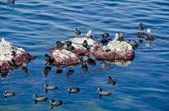 Birds - coots and gulls Stock Image