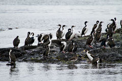 Birds - Cormorant Colony Royalty Free Stock Images