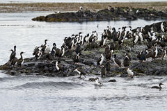 Birds - Cormorant Colony. Cormorant Colony On An Island In The Beagle Channel - Tierra del Fuego - Argentina - Chile stock photo