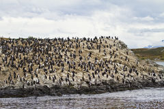 Birds - Cormorant Colony Stock Photography