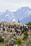 Birds - Cormorant Colony. Cormorant Colony On An Island In The Beagle Channel - Tierra del Fuego - Argentina - Chile - Travel Destination Royalty Free Stock Photography