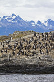 Birds - Cormorant Colony. Cormorant Colony On An Island In The Beagle Channel - Tierra del Fuego - Argentina - Chile - Travel Destination Royalty Free Stock Photos