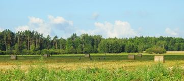 Birds, cow animals and nice field, Lithuania stock photo