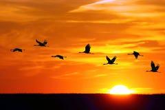 BIRDS - Cranes Royalty Free Stock Photos