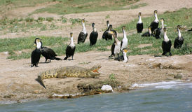 Birds and crocodile in Uganda Stock Photography