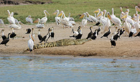 Birds and crocodile waterside in Uganda Royalty Free Stock Images