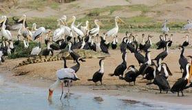 Birds and crocodile waterside in Uganda Royalty Free Stock Image