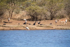 Birds and crocodiles on the bank of dam with impala approaching Royalty Free Stock Photos