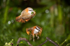 Birds dancing on the air Stock Photography