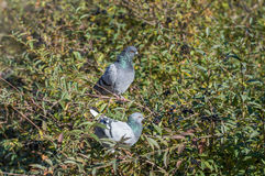 Birds dove basking in the sun. In autumn. Near river Royalty Free Stock Photos