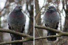 Birds doves Royalty Free Stock Image