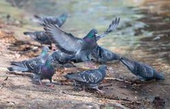 Birds drink Stock Photography