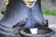 Birds drink from a water source. Black birds drink water in park Stock Images