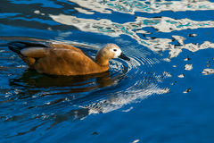 Birds,duck-ruddy Shelduck Royalty Free Stock Photography