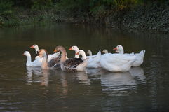 Birds duck Royalty Free Stock Photography
