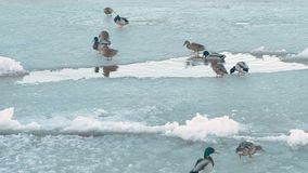 Birds ducks on the ice river. stock video